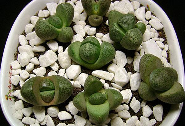 Зеленые литопсы в горшке