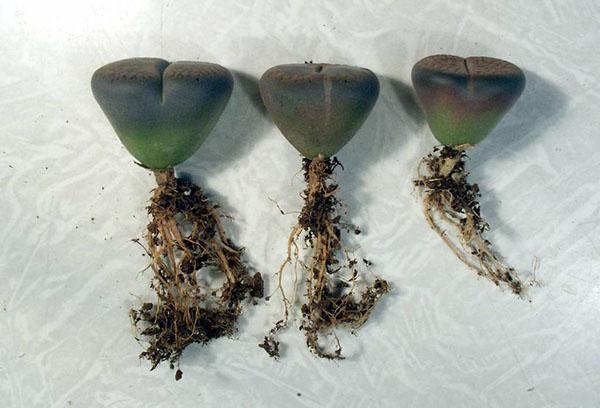 Пересадка литопсов