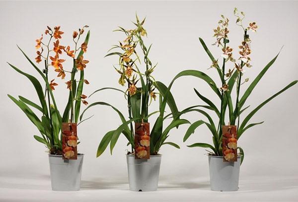 Орхидеи камбрия в магазинной таре