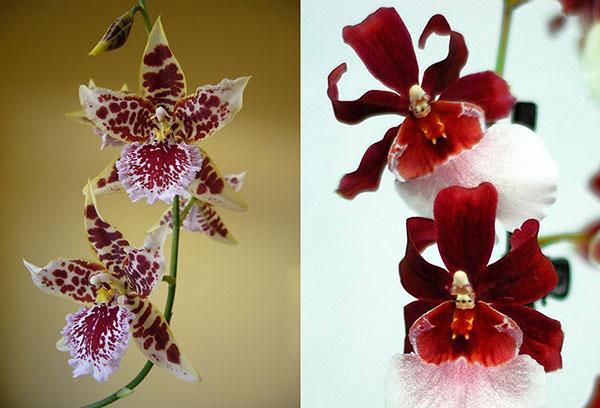 Разные сорта орхидеи камбрия