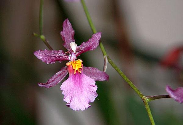 Цветок орхидеи камбрия