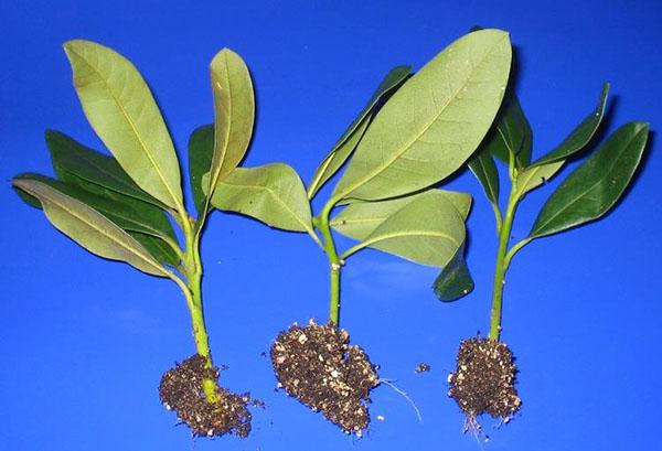 Укорененные черенки рододендрона