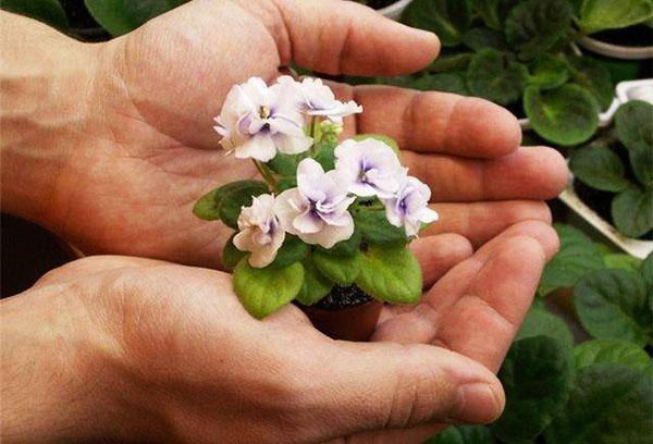 Маленькая цветущая сенполия