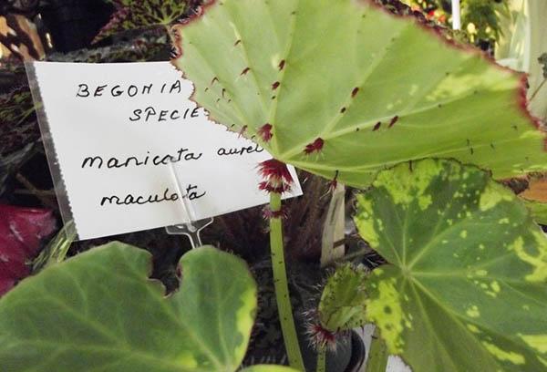 Begonia manicata