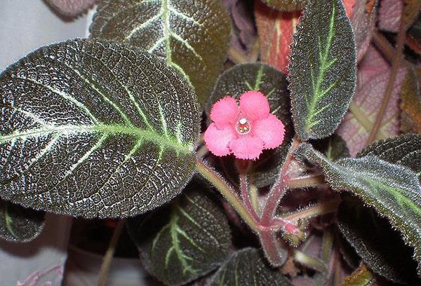 Розовый цветок эписции