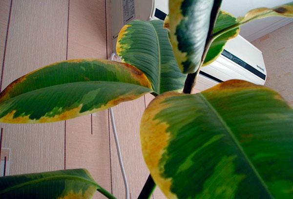 Желтеют листья фикуса каучуконосного