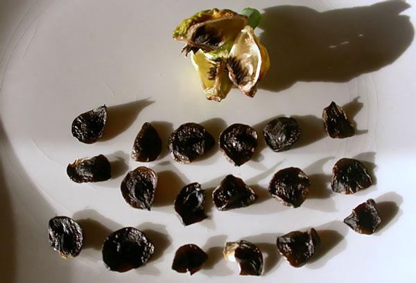 Семена гиппеаструма