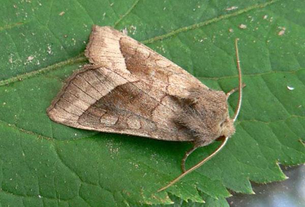 Бабочка капустной совки