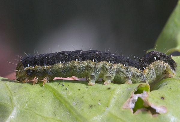 Гусеница капустной совки