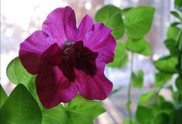 Цветущая петуния на подоконнике