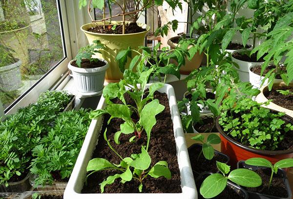 Выращивание редиса дома