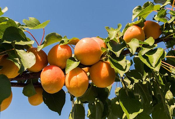 Плоды на ветке абрикоса