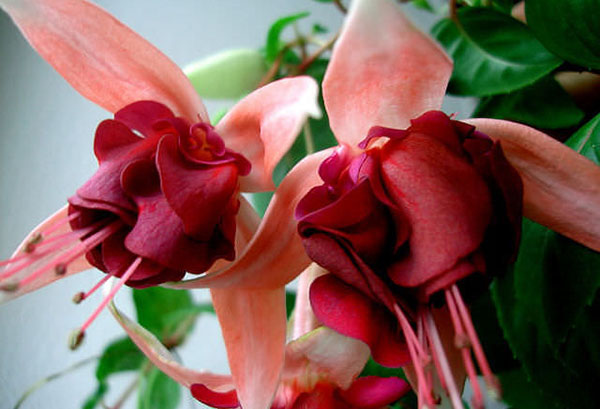 Цветы гибридной фуксии