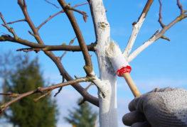Защита яблони от короеда