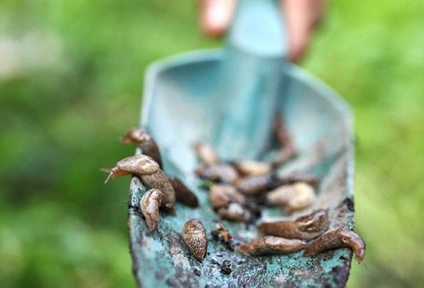 Как бороться со слизнями в огороде: народные средства и химикаты