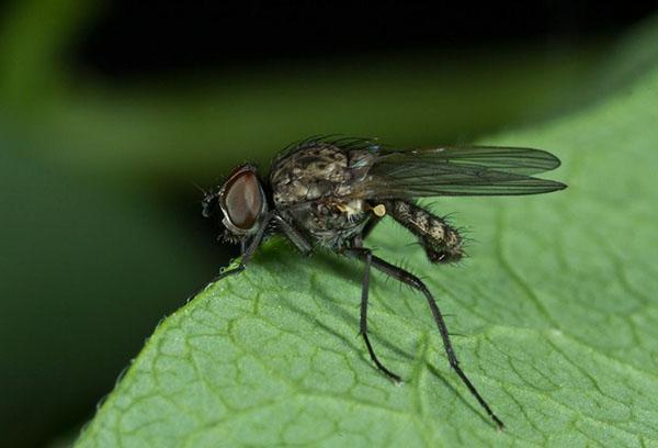 Ростковая муха