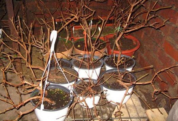 Фуксия: обрезка весной и сенью, подготовка цветка к зиме