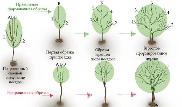 Схема формирующей обрезки груши
