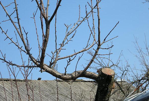 Корректировка кроны старой груши