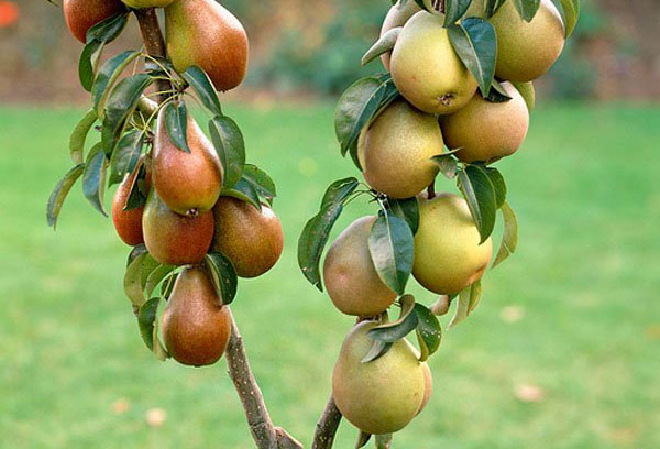 Колоновидная груша с плодами