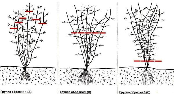Типы обрезки клематисов