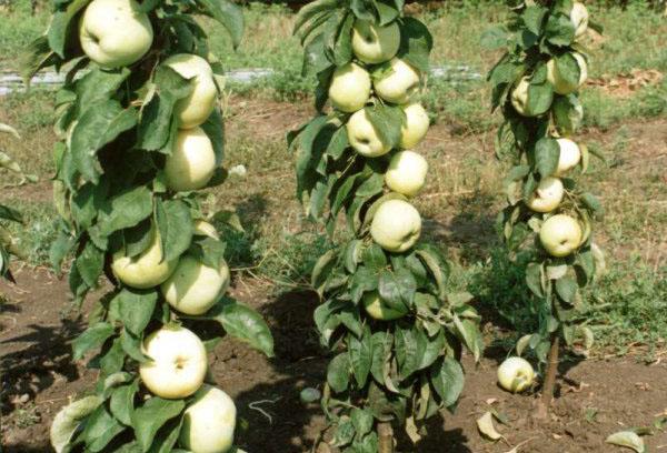 Колоновидные яблони осенью