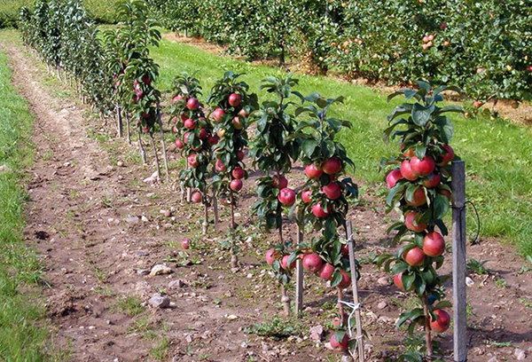 Плоды на колоновидных яблонях