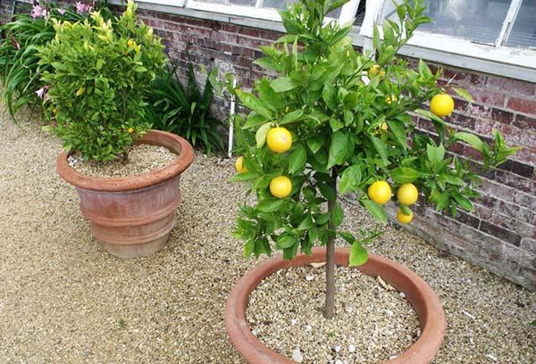 Лимоны в больших горшках