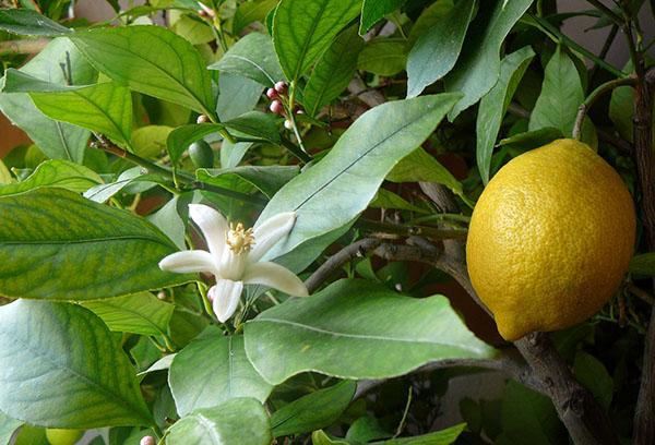 Цветок и плод на лимонном деревце