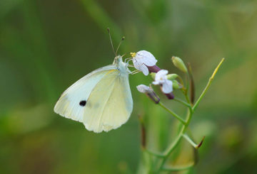 Бабочка репная белянка