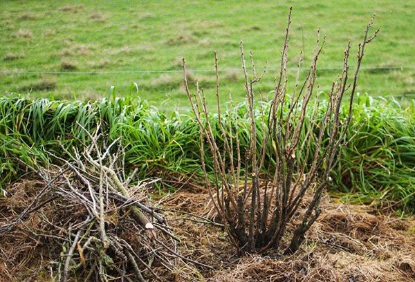 Обрезка смородины весной и осенью для начинающих садоводов