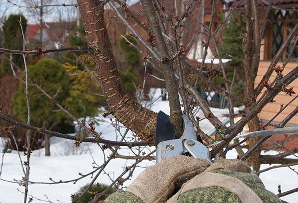 Удаление ветки вишни