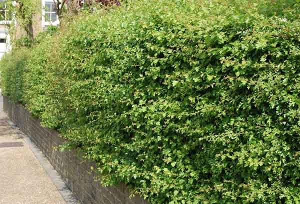 Обрезка боярышника весной и осенью: рекомендации опытных садоводов