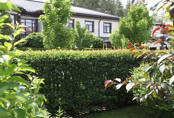 Живой забор из боярышника