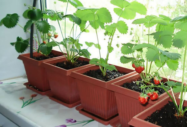 Выращивание клубники в горшках на подоконнике