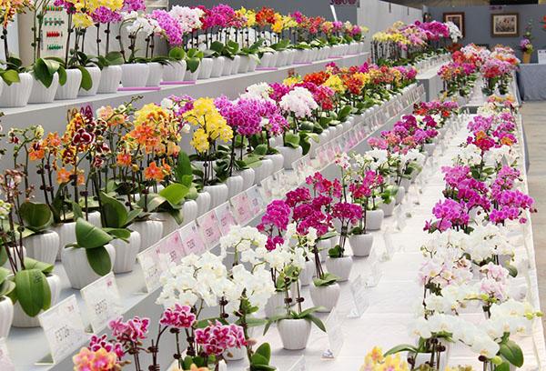 Гибридные орхидеи в магазине