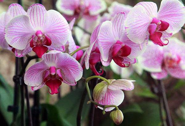 Пышное цветение орхидеи фаленопсис
