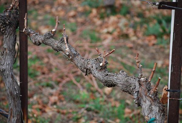 Старая виноградная лоза после обрезки
