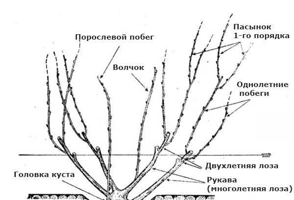Составные части виноградного куста