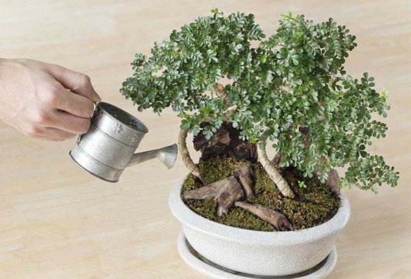 Полив миниатюрного дерева