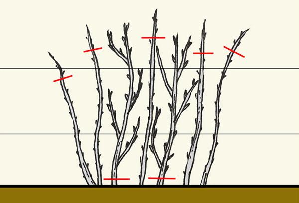 Брезка малины осенью и весной - схема, сроки, полезные советы для начинающих