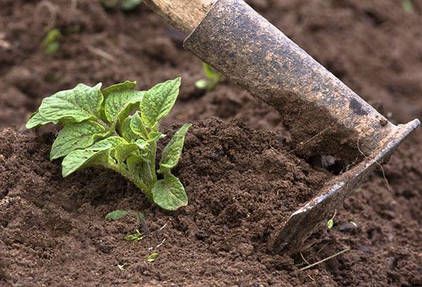 Рыхление почвы на картофельной грядке