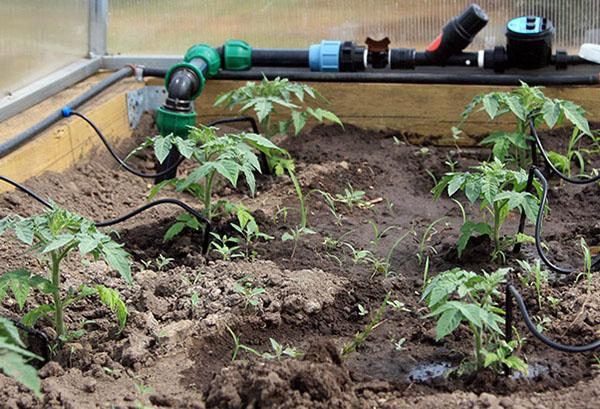 Автоматический полив томатов в теплице