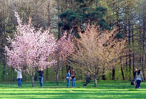 Разные сорта сакуры в парке