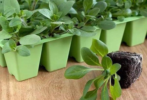 Посев петунии на рассаду: как правильно вырастить цветы из семян
