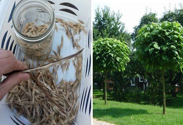 Семена и дерево катальпы