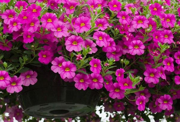 Пышное цветение калибрахоа