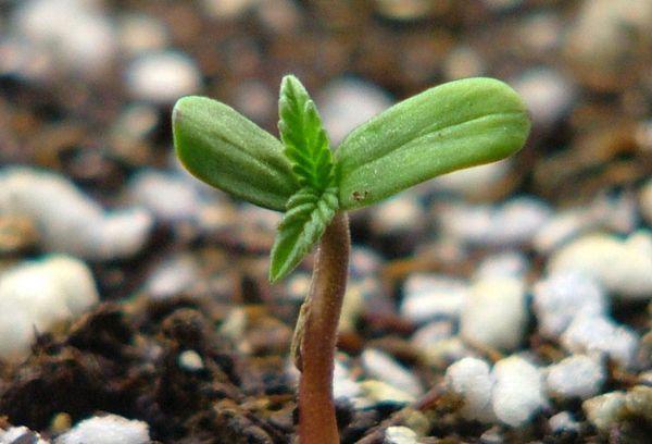 Молодой росток