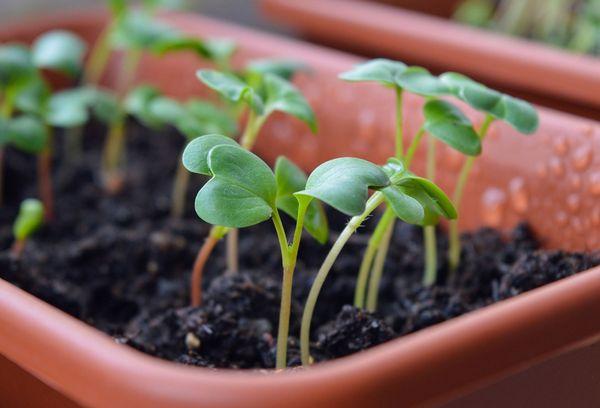 Емкость с рассадой