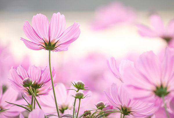 Розовая космея